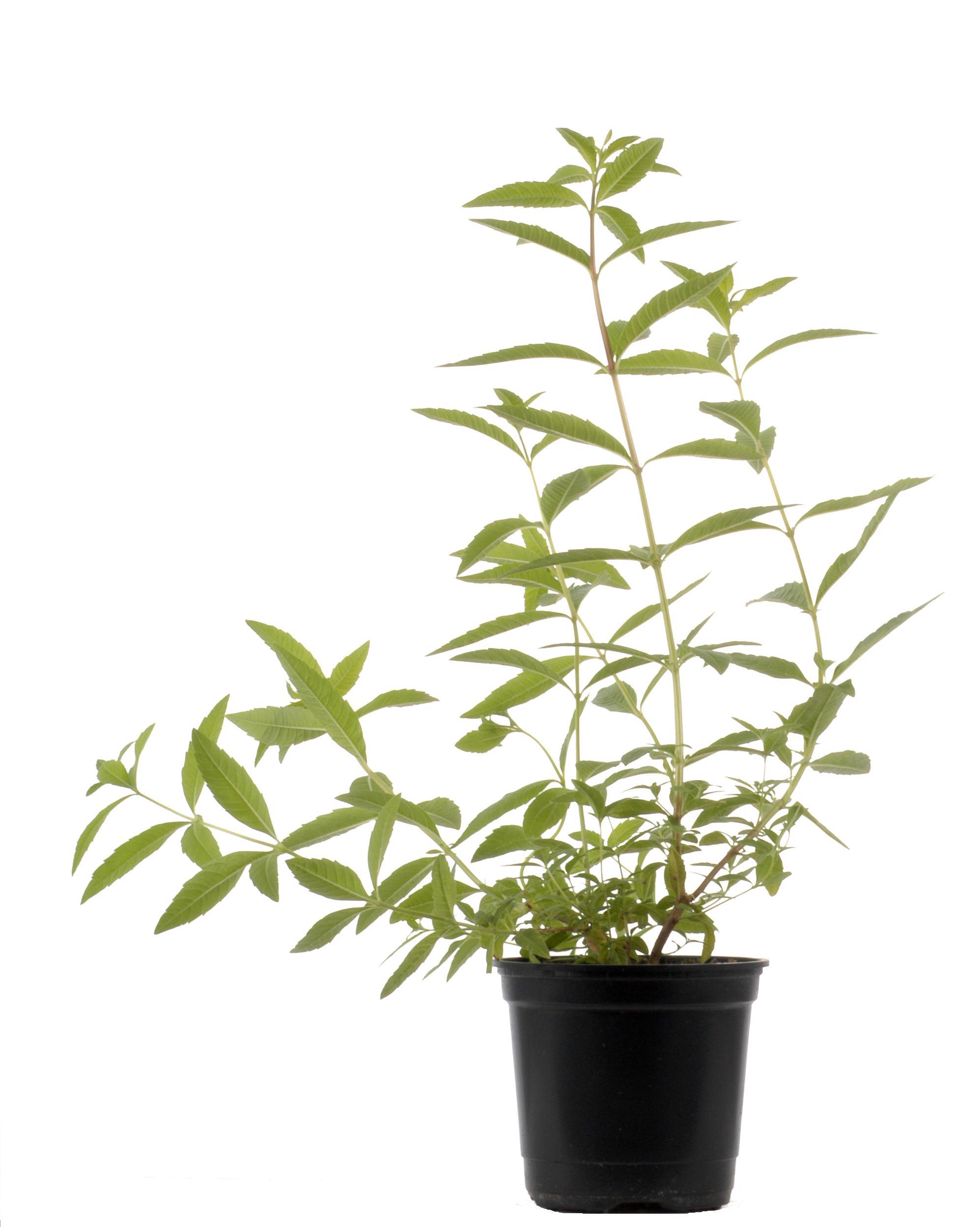 saint remy basilic producteurs distributeurs de plantes aromatiques de provence une famille. Black Bedroom Furniture Sets. Home Design Ideas