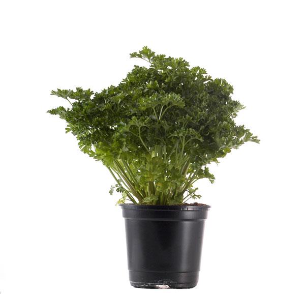 notre gamme remy basilic producteurs distributeurs de plantes aromatiques de provence